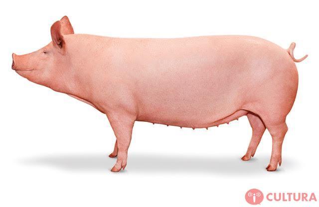 inovação em genética suína combina o melhor do large white com o