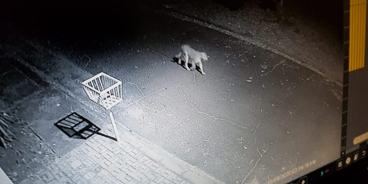 Onça parda é filmada passeando pela Vila A